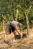 Senior farmer woman harvesting plums Stock Image