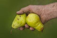 Old farmers hands with two picked ripe pears Royalty Free Stock Photo