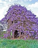 Old Farmhouse Covered with Wisteria. An abandoned farmhouse in a pasture. The wisteria vine kept growing on it, taking over the structure royalty free stock photos