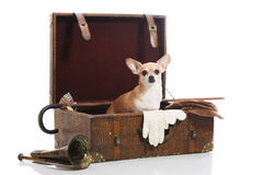 Old fashioned cuteness. Chihuahua sitting in vintage collection Royalty Free Stock Photo