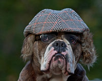 An old-fashioned dressed dog Stock Image