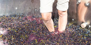 Old Fashioned Grape Stomping Royalty Free Stock Images