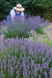 Old-fashioned lavendar gardener Royalty Free Stock Image