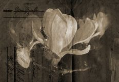 Old-fashioned magnolia background Royalty Free Stock Images