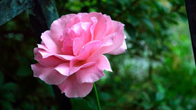 Old-fashioned pink rose letterbox format. Old-fashioned pink rose in full bloom against garden backdrop in letterbox  format Stock Image