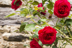 Old-fashioned red roses growing on an ancient stone wall Stock Images