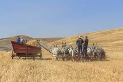 Old fashioned wheat harvest in Colfax, Washington. Colfax, Washington USA - 09-03-2018. Editorial photo of men driving draft mules pushing a swather to harvest royalty free stock photo