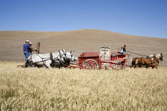 Old fashioned wheat harvesting. Royalty Free Stock Photos
