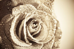 Old-fashionen Rose Royalty Free Stock Images