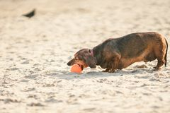 An old fat little brown dachshund dog plays with a rubber red ball on a sandy beach in sunny weather.  royalty free stock photography