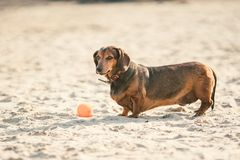 An old fat little brown dachshund dog plays with a rubber red ball on a sandy beach in sunny weather.  royalty free stock images