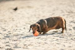 An old fat little brown dachshund dog plays with a rubber red ball on a sandy beach in sunny weather.  stock images