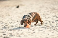 An old fat little brown dachshund dog plays with a rubber red ball on a sandy beach in sunny weather.  stock photography
