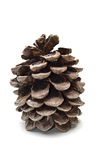 Old fat pine cone Stock Image