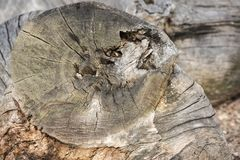 An old felled tree. As a background Royalty Free Stock Photo