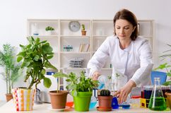 The old female biotechnology chemist working in the lab. Old female biotechnology chemist working in the lab royalty free stock image