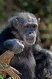 Old Female Chimpanzee. Resting on an downed tree royalty free stock photography