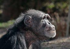 Old Female Chimpanzee. In profile stock photos