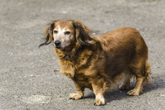Old female of dachshund Royalty Free Stock Images