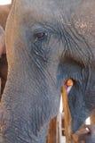 Old female elephant Stock Photo