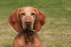 Old female Hungarian hound. Dog look into the lens. Portrait of a Hungarian Vizla. Stock Photo