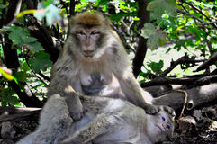 An old female monkey relaxing in shade Royalty Free Stock Image