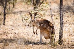 Old female red Kangaroo in Australia's Outback Royalty Free Stock Photography