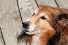 Old female sheltie dog Stock Images