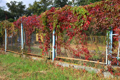 Old fence with colorful leaves of wild grapes nature autumn background Royalty Free Stock Photo
