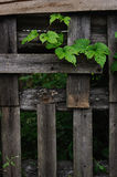 Old fence and hop Stock Photo
