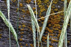 Lichens on a wooden fence, covered in grass. royalty free stock image