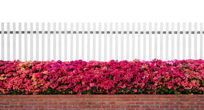 Old fence wood and varicoloured bougainvillea paper flowers isolated Stock Images