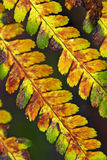 Old fern Royalty Free Stock Photos