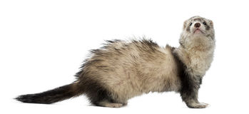 Old ferret Royalty Free Stock Photography