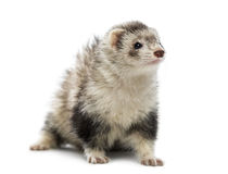 Old ferret Stock Photography