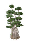 Old ficus bonsai dwarf tree Royalty Free Stock Photo