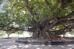 Old ficus tree in Buenos Aires Stock Image