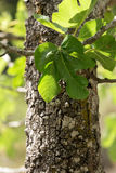 Old Fig Tree. Trunk Segment Stock Image