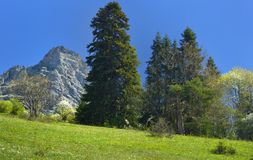 Old fir. This is old fir in Caucasus mountains in spring Royalty Free Stock Photography