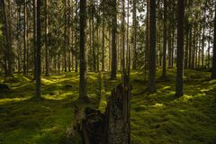 Free Old Fir Forest In Sweden With Green Moss On The Ground Royalty Free Stock Image - 160464356