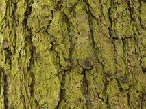 Old fir tree (background). Old fir tree with moss and lichen (background Stock Photo
