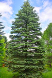Old fir-tree in Dendrology garden in Pereslavl-Zalessky city Stock Photos