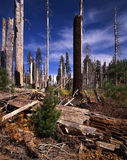 Old Fire New Growth. New tree growing in the aftermath of a forest fire royalty free stock photos