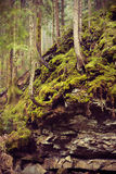Old firs growing on the rocky slopes Royalty Free Stock Photography