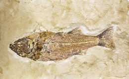 Old fish fossil in stone Stock Image