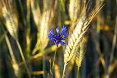 Old cornflower Stock Photography