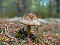 Old fly amanita Stock Photo