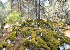 Old foetid juniper forest on an island golem grad , lake prespa, macedonia Royalty Free Stock Image