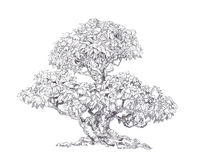 Old foliar bonsai. Pen drawing. Illustration of dry wood Royalty Free Stock Images