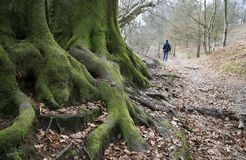 Old forest. Tree roots on a hill in a old forest, England Stock Photos